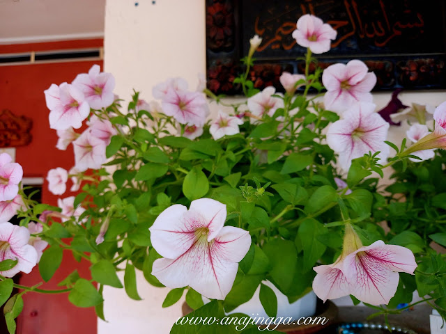 tips penjagaan pokok petunia