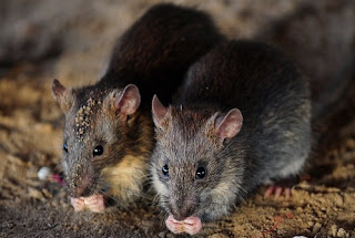 Rats - the idea of others !