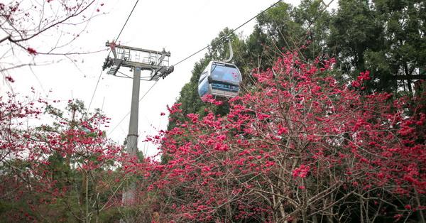 南投魚池|九族文化村櫻花祭-無限次坐纜車、賞櫻花好美哦~