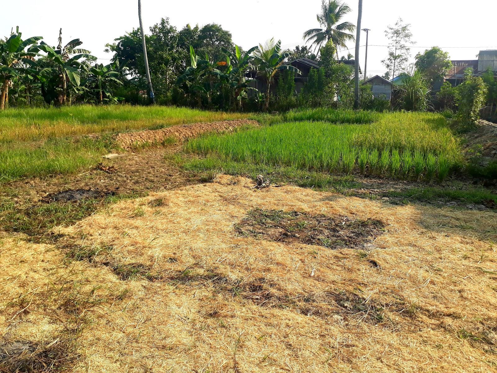 Keadaan kebun padi saya - mantankode 2019 Paser