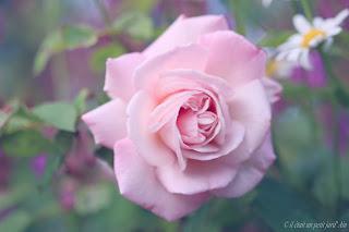 rose pink gruss