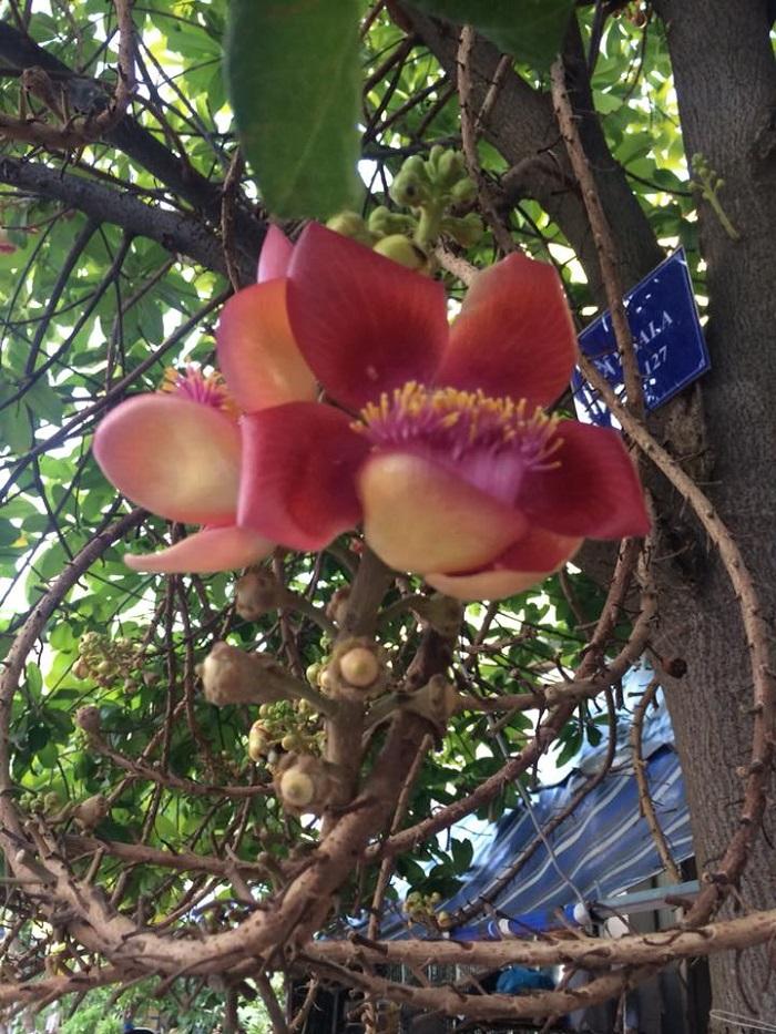 cây sala tại thành phố sa đéc ảnh 3