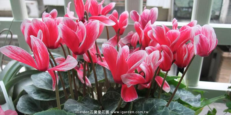 春節花卉仙客來