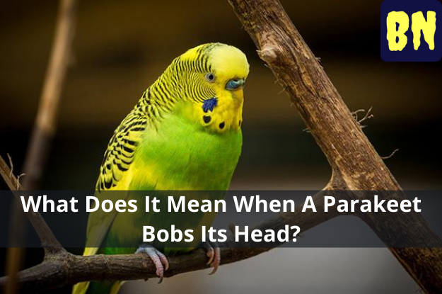 What Does It Mean When A Parakeet Bobs Its Head?