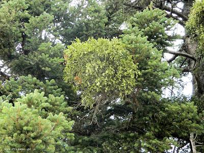 Ιξός, μελάς, γκι, το Χριστουγεννιάτικο αντικαρκινικό φυτό