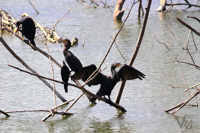 Cormorants at the Lalbagh Lake