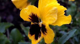 زهور الثالوث فى المنام بالتفصيل