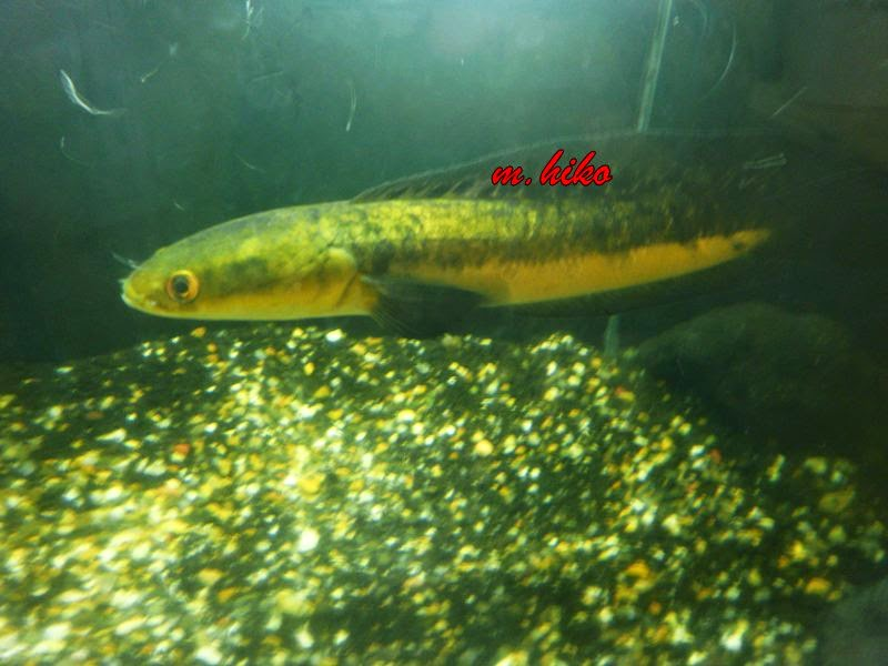 Mahamaya Hiko Jenis Jenis Snakehead Fish Channidae Family