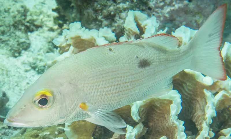 jenis Ikan Kakap Tompel Mahogany