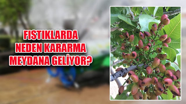 Fıstık meyveleri neden kararıyor