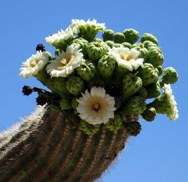 Hooded Oriole feasting on Saguaro Cactus flowers; Tucson ... |Saguaro Cactus Flowers