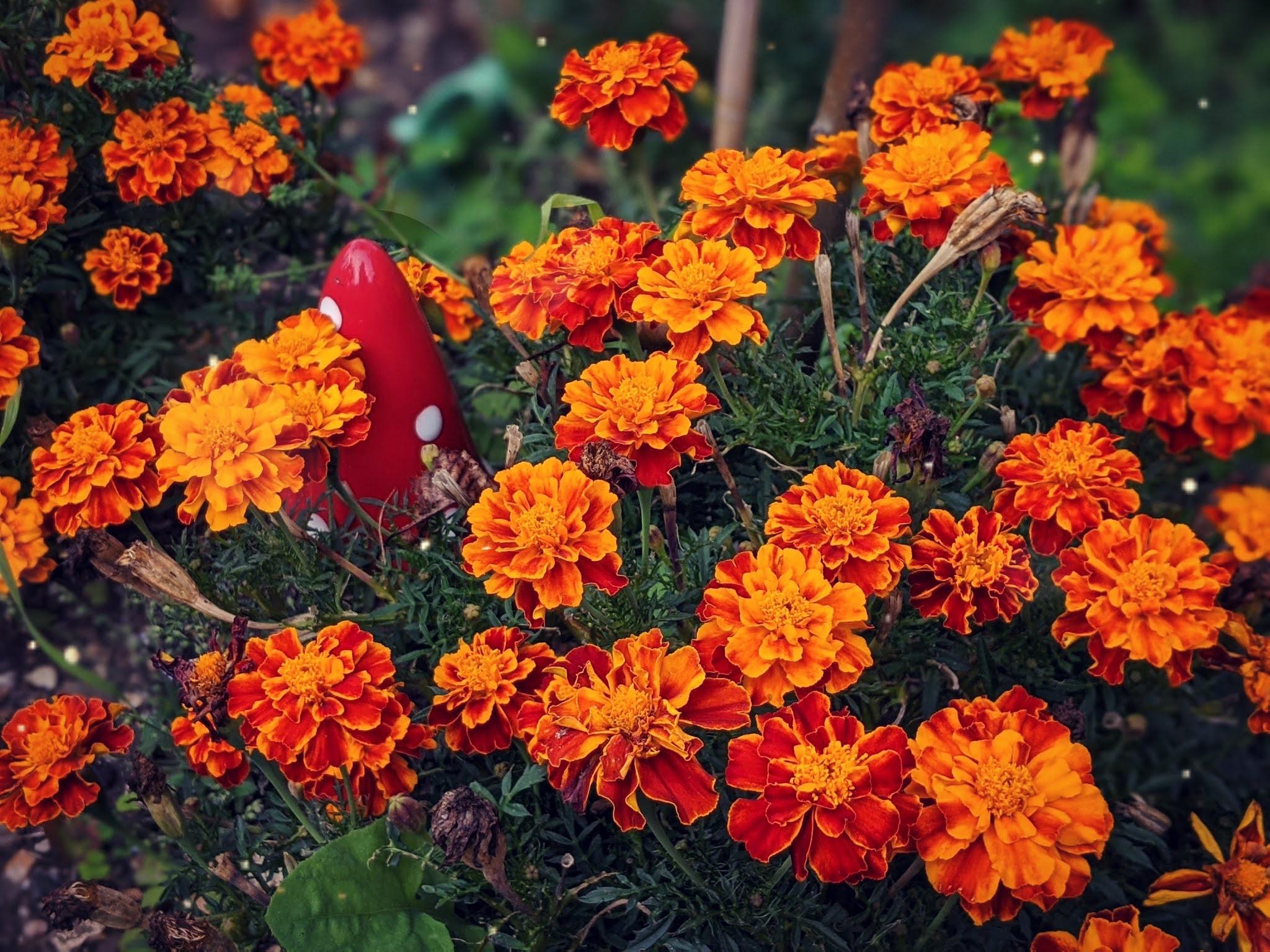Marigolds garden littlepackofvegans