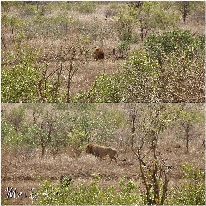 León-cerca-Sabie-River-Kruger
