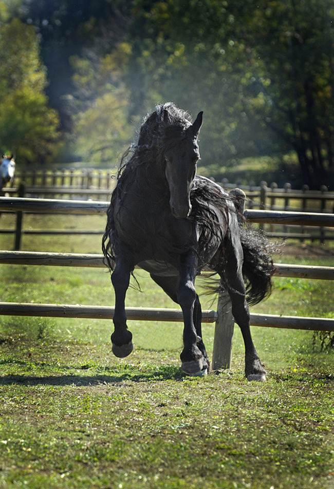 friesian stallion the great the most beautiful horse in