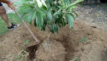Escavando em volta da árvore para fazer o seu arranque