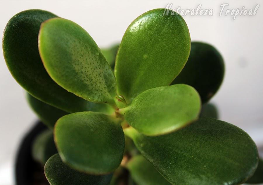 Detalles de las hojas del Árbol de Jade o Árbol del Dinero, Crassula ovata
