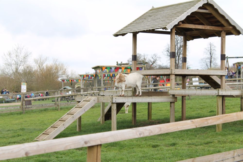 goat-standing-on-goat-house