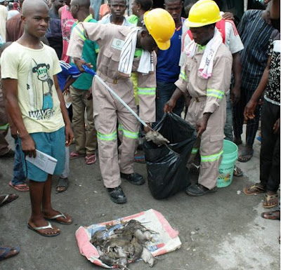 Image result for Rat Killing To Become A Profession In Lagos