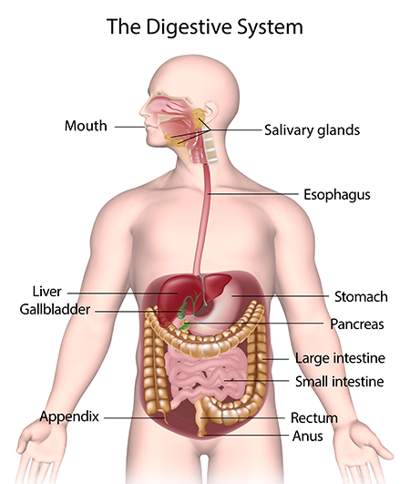 Digestive system of human & it function