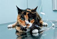 Una linda gata en pleno proceso de fluidoterapia