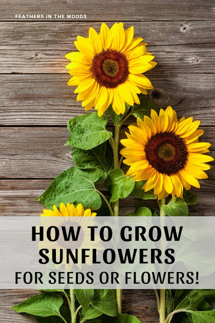 Growing sunflowers, a tutorial