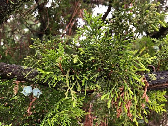 Tuia-da-china ou Árvore-da-vida-do-oriente