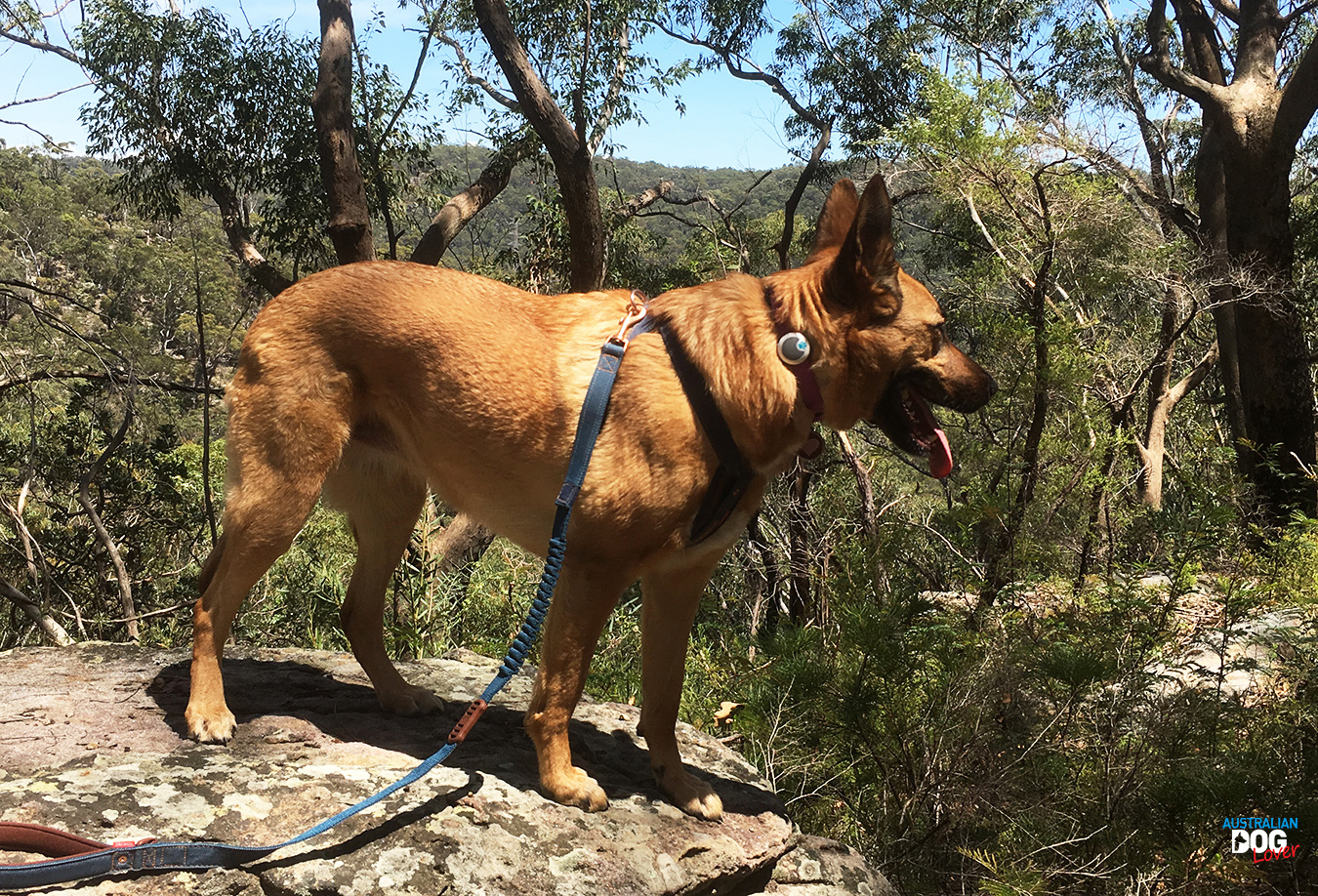 Malinois Aramis overlooks the bush wearing the Animo Dog Activity Monitor on her collar