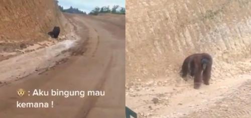 Video Memilukan, Seekor Orang Utan Berjalan Kebingungan di Kawasan Tambang Kalimantan