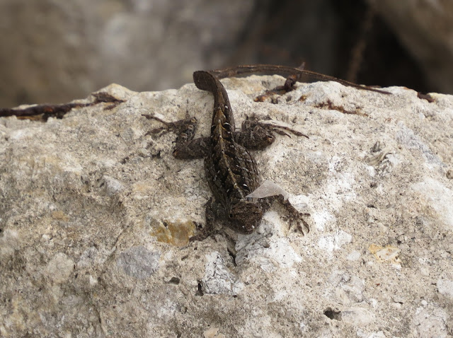 Brown Anole - Merritt Island, Florida