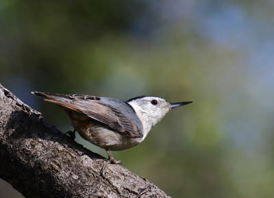 Photo of White-breasted Nuthatch on tree branch