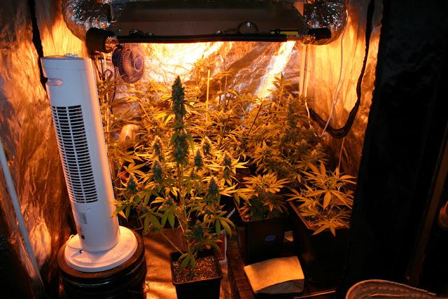 & How to grow marijuana in grow tents