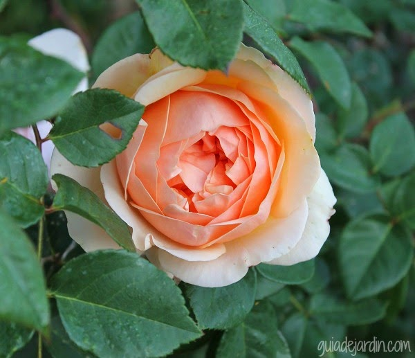 Cómo Podar Los Rosales Guia De Jardin
