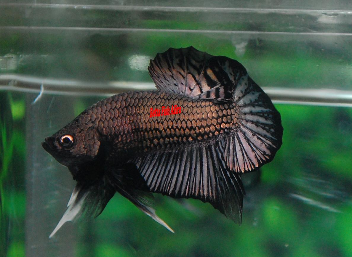 Betta Fish Afira: Betta HMPK 13 April new ( ALL SOLD OUT )  Betta Fish Afir...