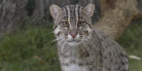 Kucing Hutan Langka di Dunia