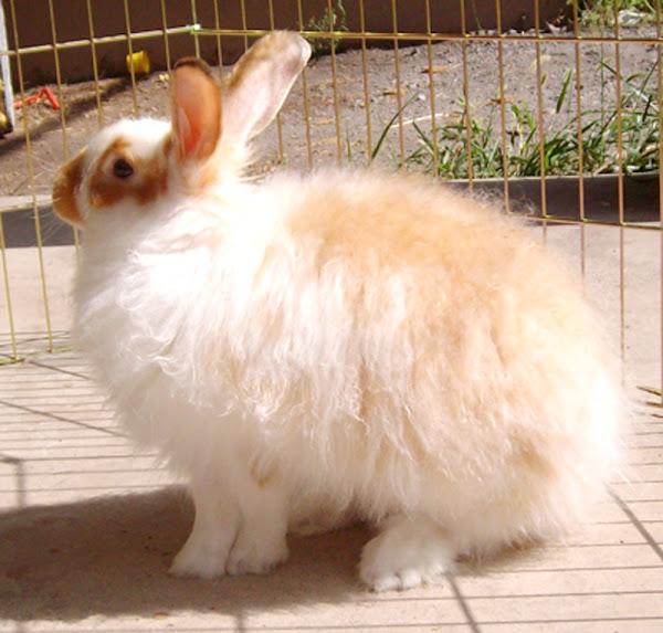 angora rabbit, about angora rabbit, angora rabbit pictures, angora rabbit history, angora rabbit facts, angora rabbit characteristics, angora rabbit breeds, angora rabbit variety, angora rabbit behavior, angora rabbit as pets, angora rabbit colors, angora rabbit fur, angora rabbit hair, angora rabbit info, angora rabbit information, angora rabbit origin, angora rabbit personality, angora rabbit size, angora rabbit wool, satin angora rabbit
