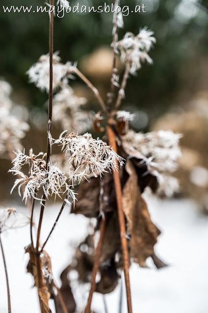 vertrocknete Clematis mit Frost und Schnee