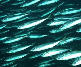 Ikan Makarel channel488