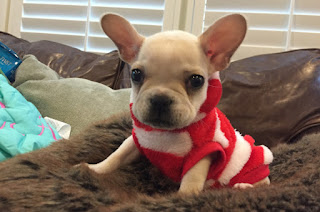 Bully bought as a Christmas gift from Citipups on Christopher street in the Village in Manhattan only to be heartbroken in the new year
