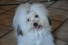 White Coton de Tulear dog with black shade