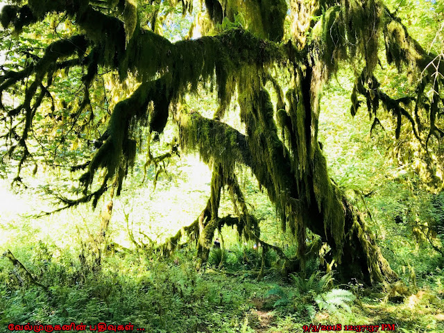 Hoh Spruce Nature Trail Forks