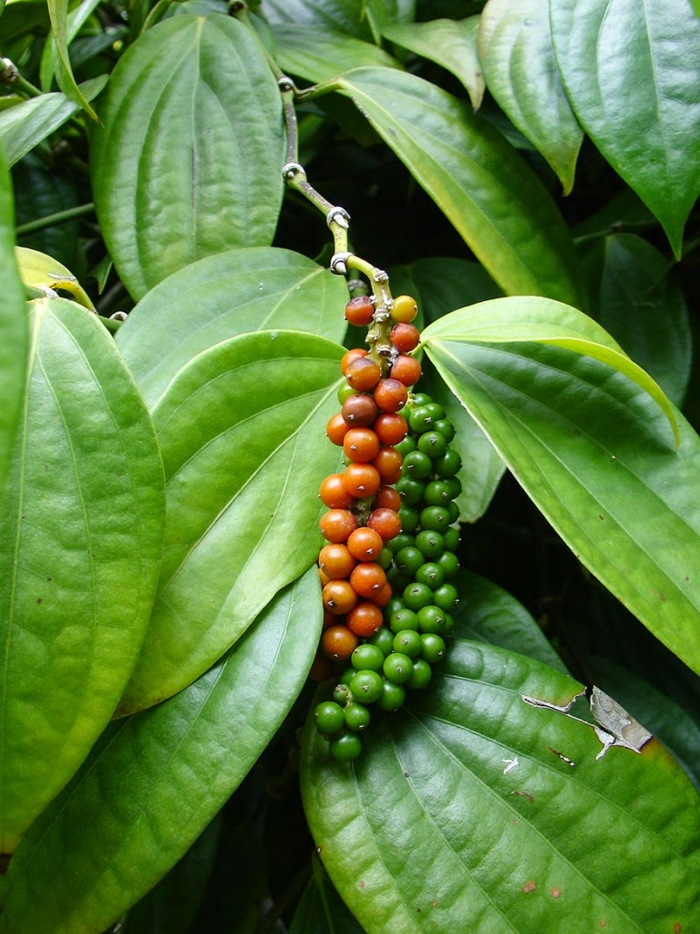 Do You Know What Your Favorite Foods Look Like While Growing - Black Pepper is a flowering vine in the Piperaceae family.