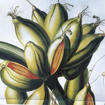 Calendario Real Jardín Botánico, Plantae Selectae