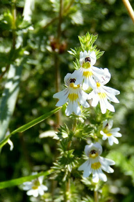 herbal, Manfaat Tanaman Herbal, eyebright, euphrasia,