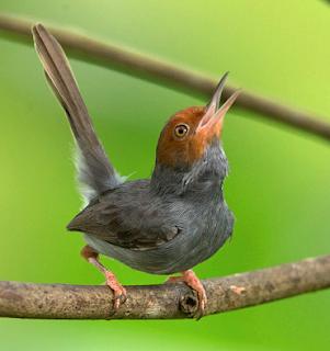 Suara burung prenjak kepala merah vietnam gacor