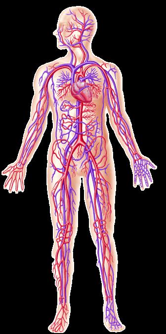 Mengenal Tiga Sistem Sirkulasi Pada Manusia