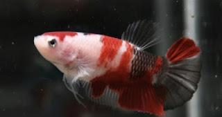 Ikan Cupang Jantan Tidak Mau Membuat Gelembung