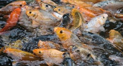 Budidaya Ikan Mas Yang Menguntungkan - Cara Budidaya Ikan Mas