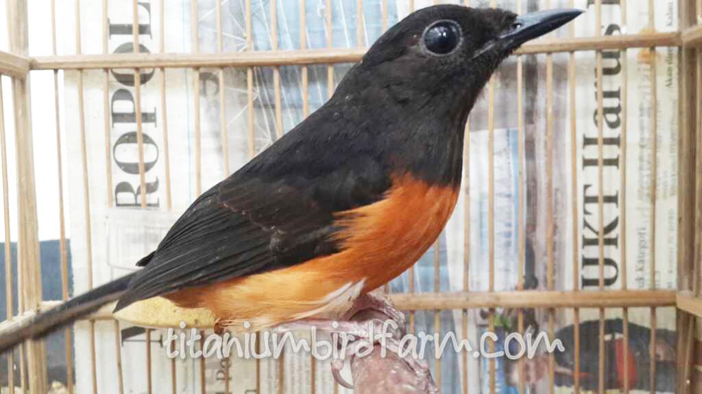 Xena Indukan Murai Batu Betina Medan Titanium Bird Farm
