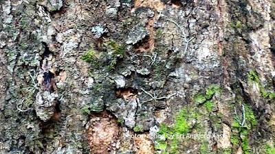 Anggrek terkecil di dunia (Taeniophyllum glandulosum)
