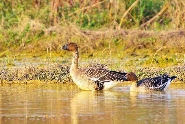 birds, bean goose, water, field, nature